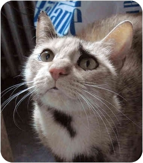 Domestic Shorthair Cat for adoption in Brooklyn, New York - Harriet