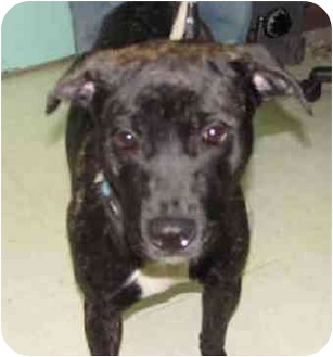 Labrador Retriever Mix Dog for adoption in Dayton, New Jersey - Snookie