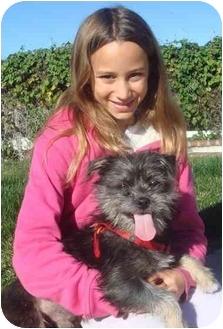 Yorkie, Yorkshire Terrier Mix Dog for adoption in El Cajon, California - sparkles