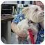 Photo 1 - Silky Terrier/Yorkie, Yorkshire Terrier Mix Dog for adoption in Marshalltown, Iowa - Abby