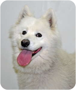 Samoyed Dog for adoption in Port Washington, New York - Toby