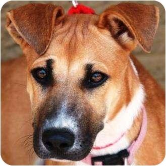 Hound (Unknown Type)/Shepherd (Unknown Type) Mix Puppy for adoption in Gilbert, Arizona - Pippi