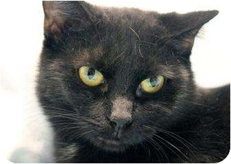 Bombay Cat for adoption in Cincinnati, Ohio - Annabelle Lee: Covedale