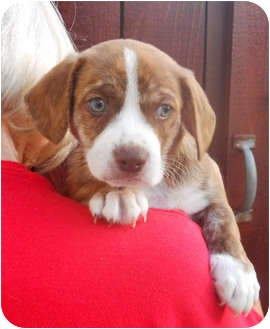 Cavalier King Charles Spaniel/Beagle Mix Puppy for adoption in El Segundo, California - Mack