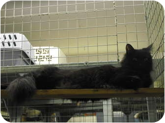 Domestic Longhair Cat for adoption in Mission, British Columbia - Cheeco