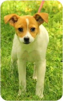 Jack Russell Terrier Mix Puppy for adoption in Staunton, Virginia - Candie