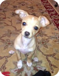 Chihuahua Mix Puppy for adoption in San Diego, California - Matthew