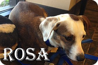 Chihuahua/Dachshund Mix Dog for adoption in Rockwall, Texas - Rosa