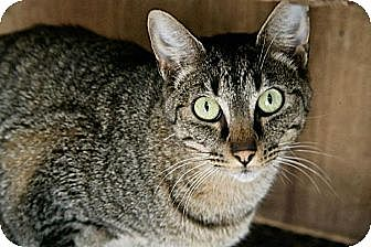 American Shorthair Cat for adoption in Jackson, Mississippi - Alexander