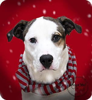 American Bulldog Mix Dog for adoption in Troy, Ohio - Louie