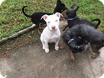 American Pit Bull Terrier Puppy for adoption in Houston, Texas - ICE (ISIS)