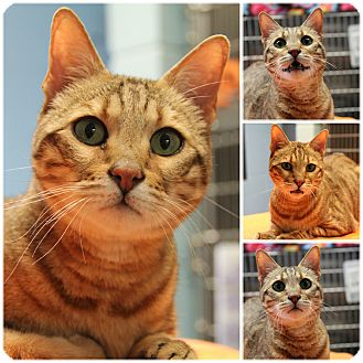 Bengal Cat for adoption in Forked River, New Jersey - Marcus