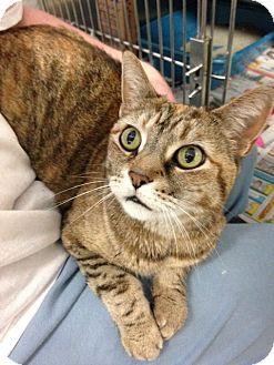 Domestic Shorthair Cat for adoption in Voorhees, New Jersey - Angelique-declawed-PetValu