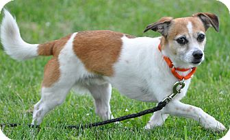 Jack Russell Terrier/Chihuahua Mix Dog for adoption in Eighty Four, Pennsylvania - Bandit