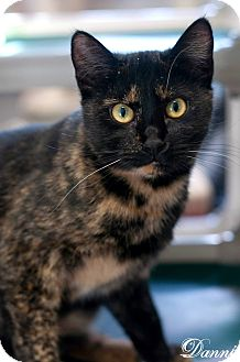 Domestic Shorthair Cat for adoption in Manahawkin, New Jersey - Danni