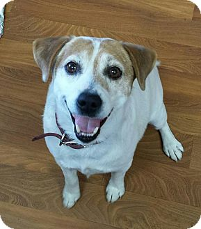 Jack Russell Terrier Dog for adoption in Lisbon, Ohio - Vinnie
