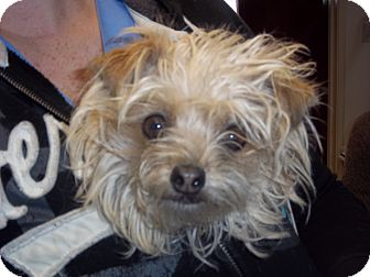 Yorkie, Yorkshire Terrier Mix Dog for adoption in Sterling, Colorado - Pyper