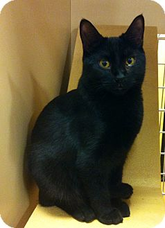 Bombay Cat for adoption in Lake Elsinore, California - Fem