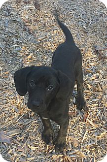 Labrador Retriever/Hound (Unknown Type) Mix Puppy for adoption in Knoxville, Tennessee - Wasabi