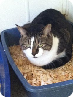 Domestic Shorthair Cat for adoption in Cashiers, North Carolina - Destiny