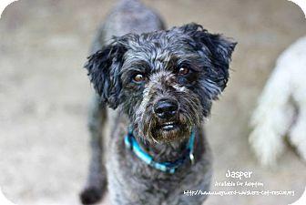 Schnauzer (Standard)/Terrier (Unknown Type, Medium) Mix Dog for adoption in San Antonio, Texas - Jasper