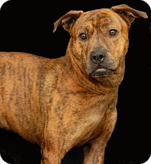 Pit Bull Terrier Mix Dog for adoption in Newland, North Carolina - Hercules