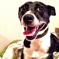 Adopt A Pet :: Moochie - New York, NY