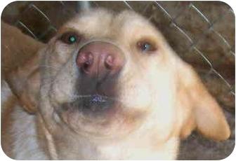 Labrador Retriever Dog for adoption in Lexington, Missouri - Sonny