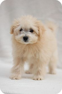 Maltese/Pomeranian Mix Puppy for adoption in Auburn, California - Paisley