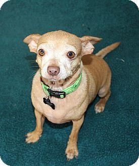 Chihuahua Mix Dog for adoption in Temecula, California - Minka- I have a video!