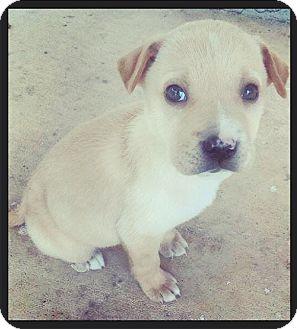Labrador Retriever Mix Puppy for adoption in Grand Bay, Alabama - Fricka