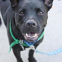 Adopt A Pet :: Purvis- Lucky Dog Rescue - Fredericksburg, VA