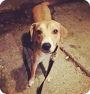 Labrador Retriever/Hound (Unknown Type) Mix Dog for adoption in Oak Park, Illinois - Sandy