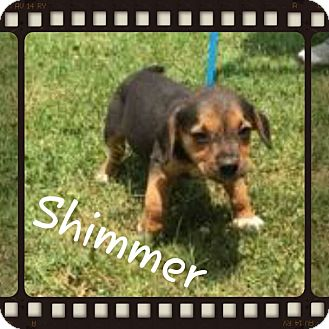 Beagle Mix Puppy for adoption in Spring Valley, New York - Shimmer (POM DC)