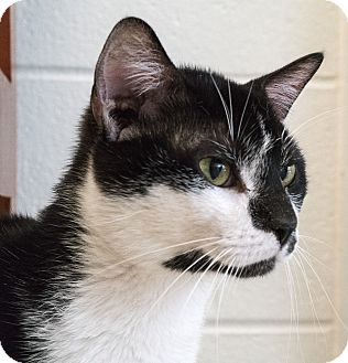 Domestic Shorthair Cat for adoption in Evansville, Indiana - Rey