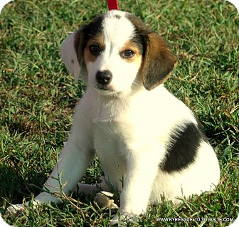Border Collie/Beagle Mix Puppy for adoption in parissipany, New Jersey - BUSTER/ADOPTED