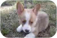 Welsh Corgi/Welsh Corgi Mix Puppy for adoption in Cole Camp, Missouri - Victoria