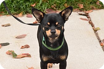 Chihuahua Mix Dog for adoption in Meridian, Idaho - Sonny