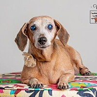 Adopt A Pet :: Millicent - Weston, FL