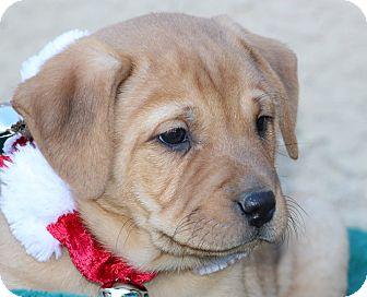 Anatolian Shepherd/Australian Cattle Dog Mix Puppy for adoption in Phoenix, Arizona - Asia