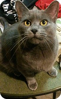Domestic Shorthair Cat for adoption in Oxford, Connecticut - Ava