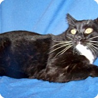 Adopt A Pet :: Sylvester - Colorado Springs, CO