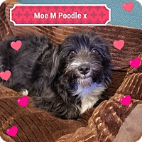 Adopt A Pet :: MOE - Gustine, CA