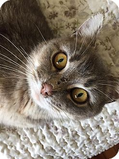Domestic Shorthair Cat for adoption in THORNHILL, Ontario - ZOE