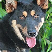 Adopt A Pet :: Pepsi von Perahta - Los Angeles, CA