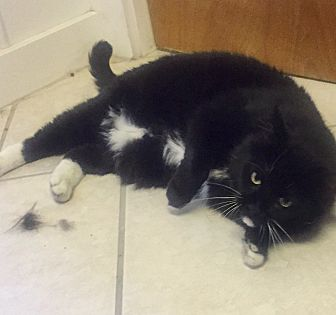 Domestic Shorthair Cat for adoption in Manchester, New Hampshire - Java-I like other cats