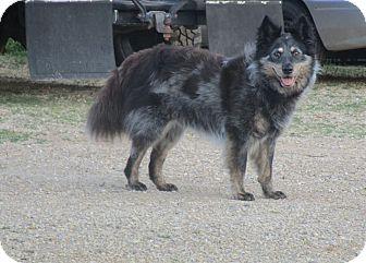 Australian Shepherd/Australian Cattle Dog Mix Dog for adoption in Minneapolis, Minnesota - Saga