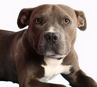 Pit Bull Terrier Dog for adoption in Pegram, Tennessee - Madison