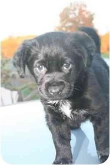 Labrador Retriever/Newfoundland Mix Puppy for adoption in Salem, New Hampshire - Brooks