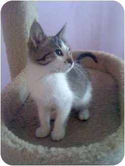Domestic Mediumhair Kitten for adoption in Mobile, Alabama - Mo